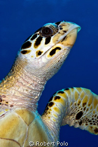 Portrait of a turtle. Taken in Bonaire by Robert Polo 